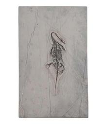 [罕見] 懷胎 / 懷孕 貴州龍 化石~~胖肚子下藏有骨骼