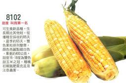 【大包裝蔬菜種子】世界之最的雙色水果玉米,甜度可達18度,目前已知最甜的品種!