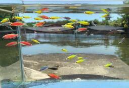 【彩蝦屋】  繽紛心情套裝組  螢光斑馬魚 黃金仙子 粉紅仙子 藍仙子  新手好飼養 水草缸 觀賞魚 龍魚專用活餌