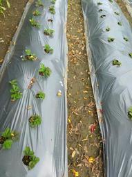 銀黑布 分裝出售( 寬4尺*長10米) (種草苺苗可搭配種植用)