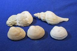 ☆老鷹的天堂☆~天然貝類 化石標本 (7顆1組) /收藏品 (印尼產 / 低價出清~)