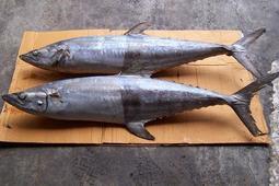 ~~@@急凍鮮@@~~海鮮大賣場 船凍印度洋白北魚(白腹魚.闊北)