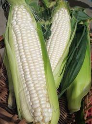 【媽咪蔬果園】 日本北海道'''爆漿''F1牛奶水果玉米 糖度高 皮薄 可生食 風味佳 (種子) 20顆50元