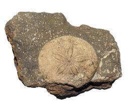 [精品] 鶯歌 厚盾海膽 化石~~中新世、南港層~~大母岩 漂亮的棘次孔