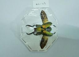 【實物實拍】印尼金鍬(42-43mm)(長牙個體) 單公 鍬形蟲標本 兜蟲標本 甲蟲標本 收藏