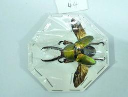 【實物實拍】印尼金鍬(44mm)(長牙個體) 單公 鍬形蟲標本 兜蟲標本 甲蟲標本 收藏