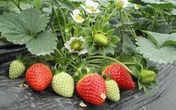 紅顏草莓-日本新品種 果大色鮮紅 結果率高