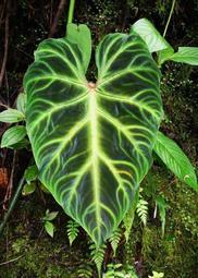 雨林植物 Philodendron verrucosum