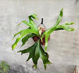 鹿角蕨 非非鹿角蕨 (非洲猴腦X非洲圓盾) 2.5吋盆