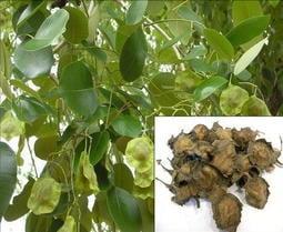 Vita Garden-小葉紫檀(檀香紫檀)種子/ Pterocarpus santalinus /7顆果莢