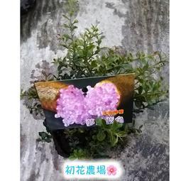 初花農場|手指檸檬(夢幻紫色)|3.5吋盆|果樹----定價150特價120